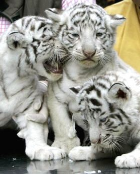 white tiger holding baby - photo #39