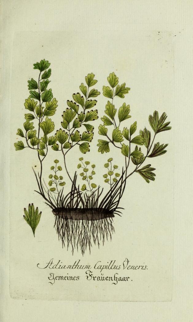 Jarhg.7 (1793) - Plantarum indigenarum et exoticarum icones ad vivum coloratae, oder, Sammlung nach der Natur gemalter Abbildungen inn- und ausländlischer Pflanzen, für Liebhaber und Beflissene der Botanik / - Biodiversity Heritage Library