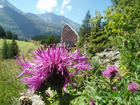 Butterfly, Thistle, Flower, Insect