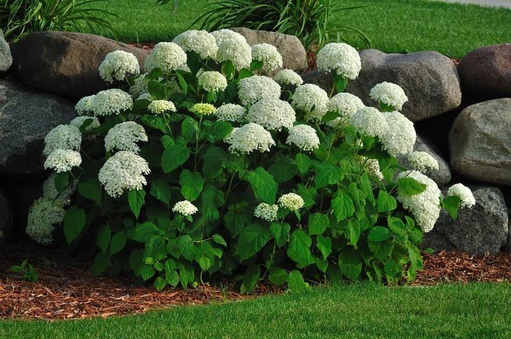 Эффектный кустарник, который не требует особого ухода, цветет с середины лета до глубокой осени, а после ваших нехитрых манипуляций может радикально изменить свой цвет – отличный вариант для украшения...