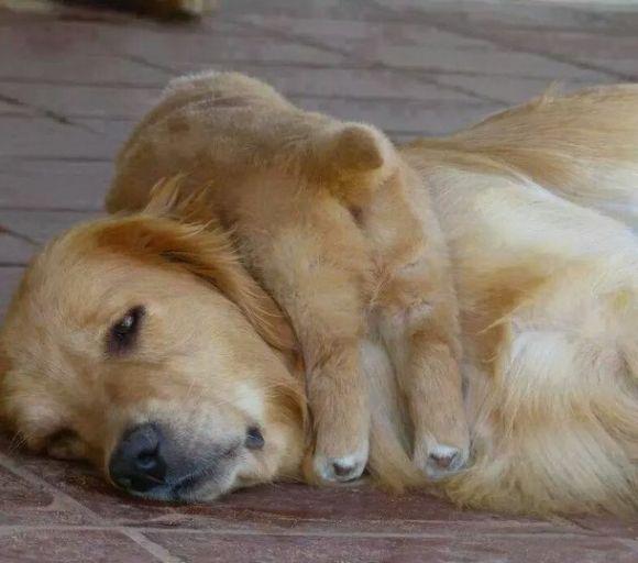 Funny Golden Retriever | Cutest Paw