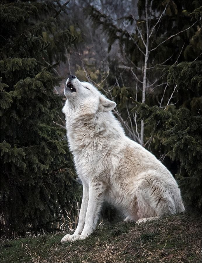 Howling Arctic Wolf by Chuck Rowe