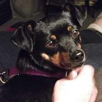 """Meet Tina, a Petfinder adoptable Miniature Pinscher Dog 