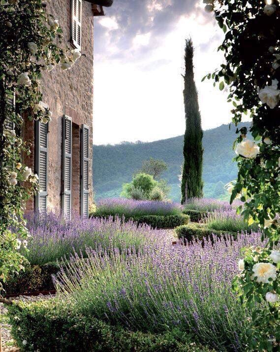 White roses, lavender and a lone cypress tree. Provence France