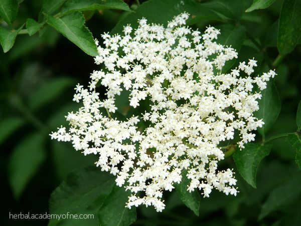 4 Remedies for Allergy Season | Herbal Academy of New England