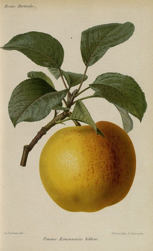 SNHF | Pomme rouennaise hâtive