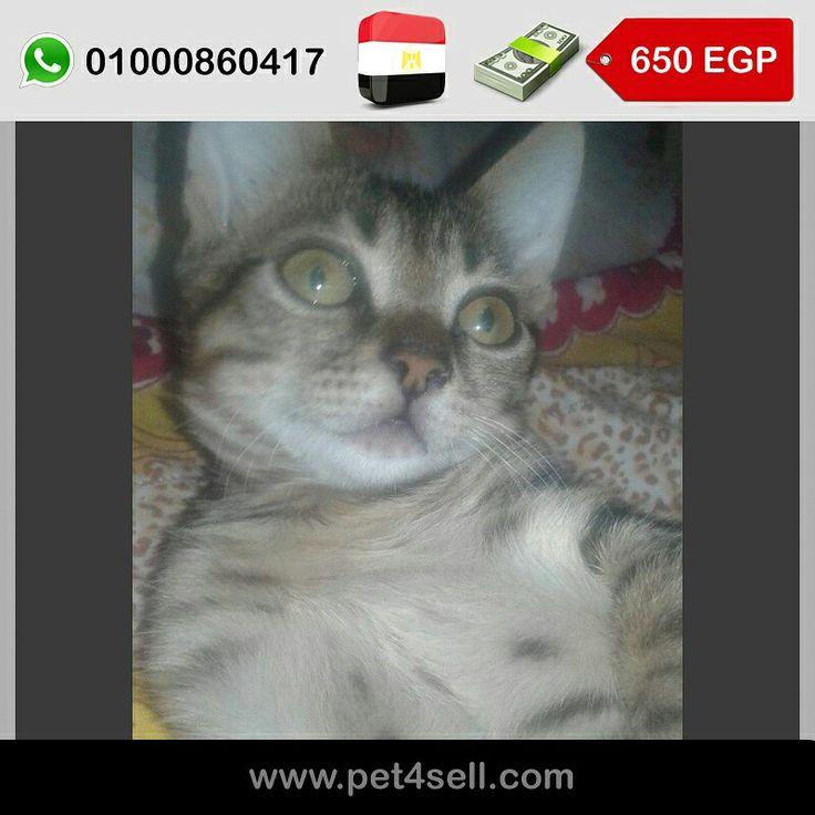 Egypt,  Aswan Egyptian MAU FOR SALE Grande*male 650 LE قابل للتفاوض 3 months #pet4sell