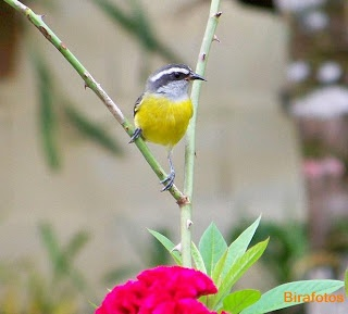 Aves do Brasil: Cambacica