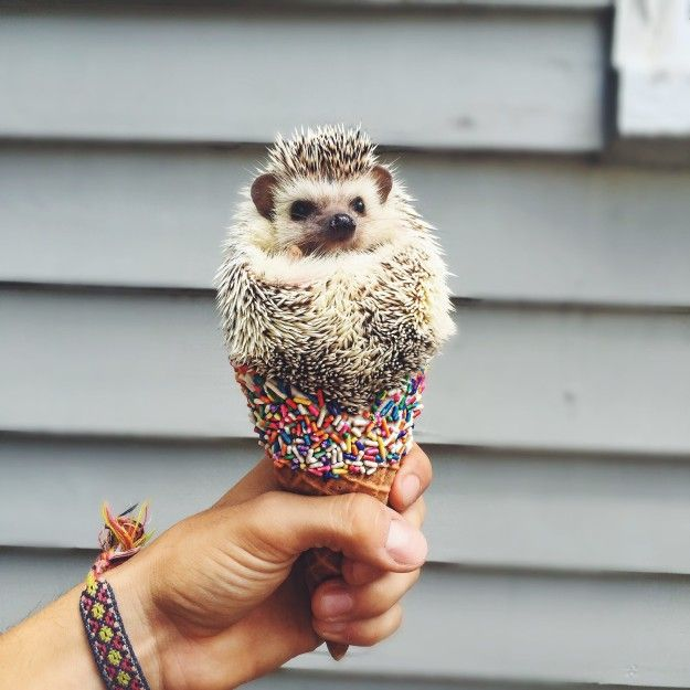 This ice cream cone hedgie is quite notable too. | 21 Small Animals That Deserve More Internet Love