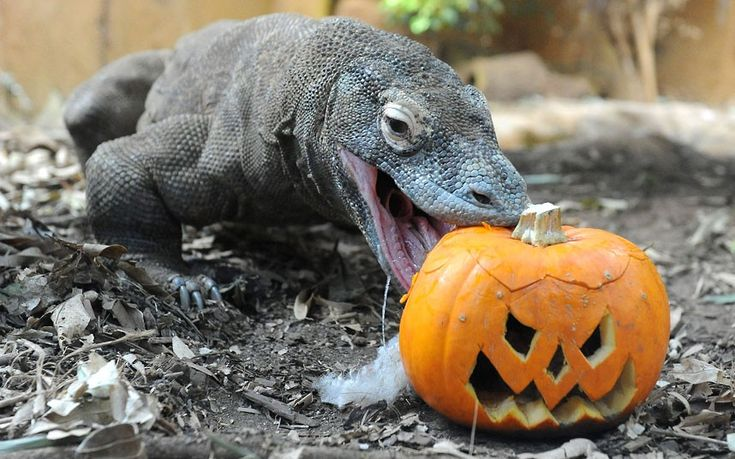 Komodo dragon Raja investigates a Halloween pumpkin at London Zoo  Picture: Tony Kyriacou / Rex Features