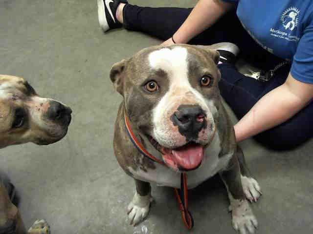Www Petharbor Com Animal Search Adoptable Pitbull Terrier Pets