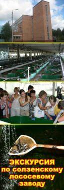 Из сотни отложенных самкой икринок не более трех процентов становятся взрослыми особями. На заводе этот показатель доведен до 60%! Наряду с семгой завод выращивает и другую представительницу семейства лососевых – кумжу.