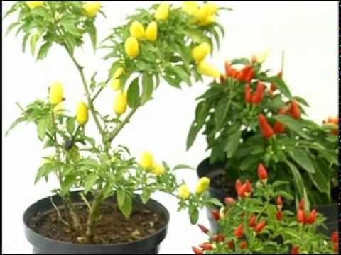 Dicas para pimentas em vaso - YouTube