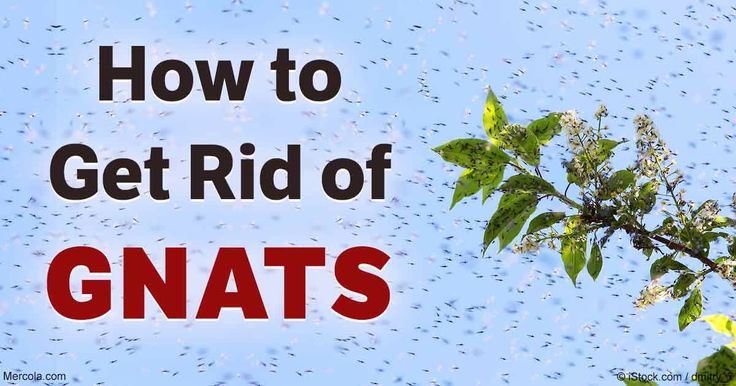 Learn the risk factors that make your home susceptible to gnats, how to repel an ongoing infestation and prevent them from entering your home again. http://articles.mercola.com/how-to-get-rid-of-gnats.aspx