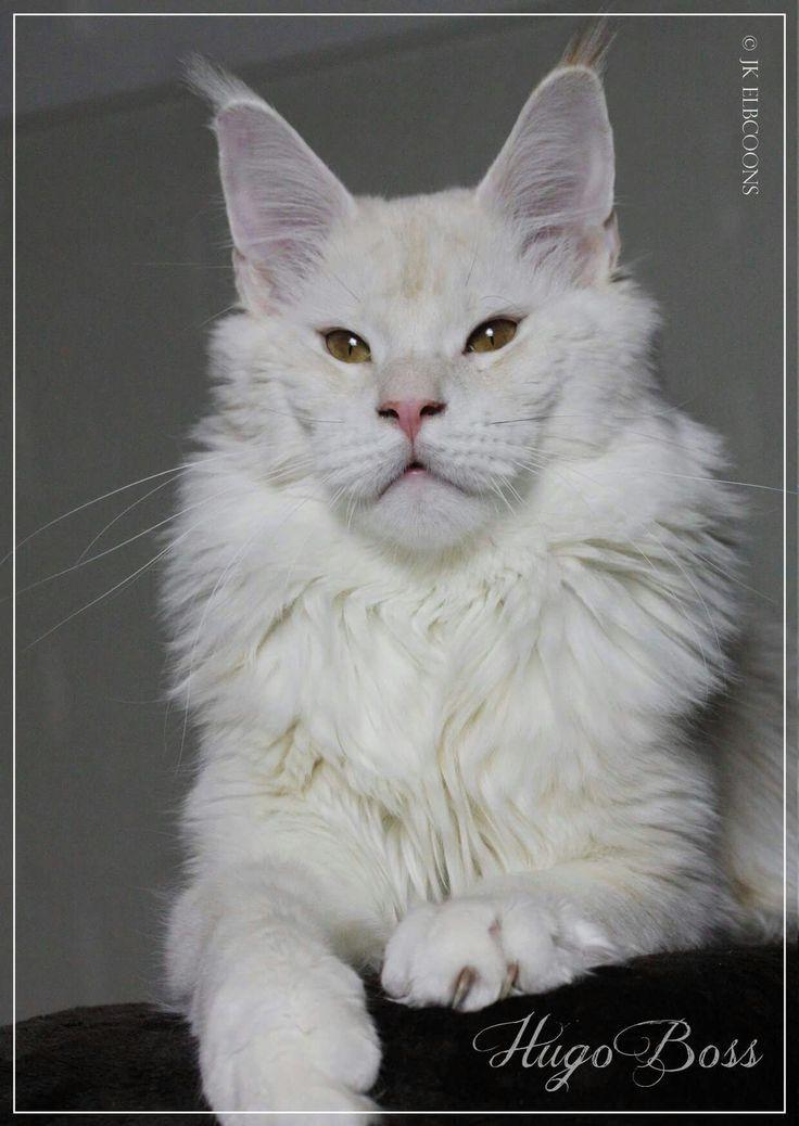Maine Coon Vs Norwegian Forest Cat Cute Cat Wallpapers Pinterest