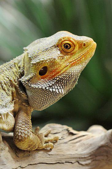 Bearded dragon. What a beauty.