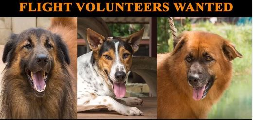 Are you departing from THAILAND and flying to the TORONTO, CANADA?  Flight volunteers wanted!!  Please help us get adopted dogs to their homes!  If you are traveling FROM Thailand TO Canada, on BOOKED tickets with Thai Airways, All Nippon Airways (ANA), China Airlines, Qatar, Korean Air, JAL, EVA, Lufthansa or KLM, please EMAIL flightvolunteer@soidog.org for more information.  http://www.soidog.org/en/be-a-flight-volunteer