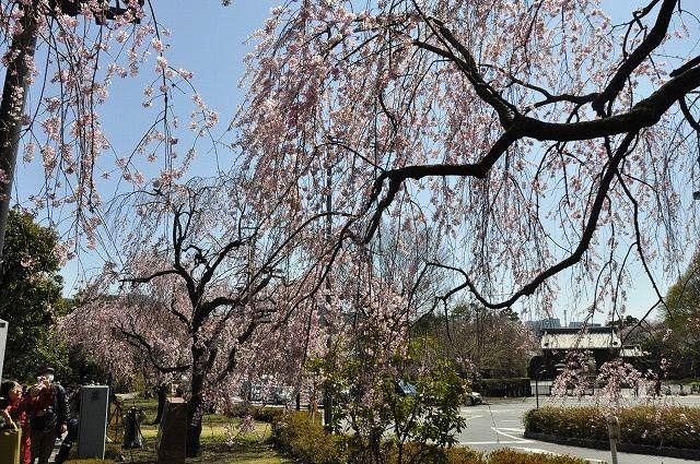 天皇陛下の80歳の傘寿を記念し、皇居内の「乾通り」が4日、一般公開された。ちょうど桜の見頃と重なり、8日までの公開期間中、にぎわいそうだ。     一般公開は昨年、80歳を迎えられた天皇陛下の意向で決まり、普段は立ち入ることのできない坂下門から乾門までの約750メートルを散策できる(一方通行のみ)。沿道にはソメイヨシノやシダレザクラなど計72本の桜が植えられているという。     入場は無料で、申し込みも不要。一般公開コースで写真を撮っていいが、三脚や脚立を使っての撮影は不可。飲食や飲酒、喫煙も禁止されている。     時間は午前10時〜午後3時まで。初日の4日は開門前から数千人が並び、宮内庁は「時間に余裕を持ってお越しください」としている。