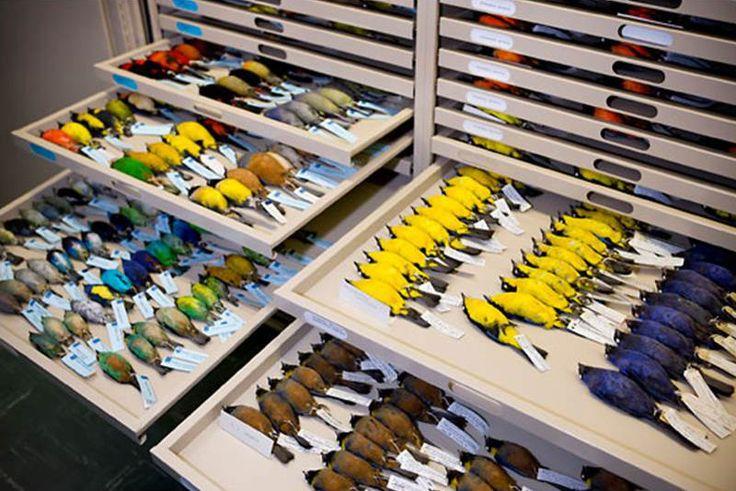Bőrbe tömött brazíliai madarak a Mátra Múzeum madárgyűjteményében. A példányokat Prof. José Hidasi (Hidasi József) gyűjtötte és ajándékozta a múzeumnak. A bőrbe tömés tudományos célt és nem a bemutatást szolgálja.