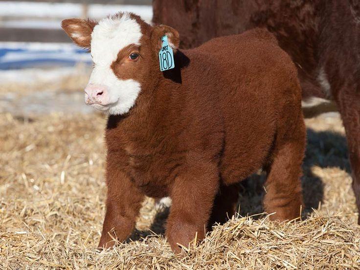 Cow puppy http://ift.tt/2dKQMHW
