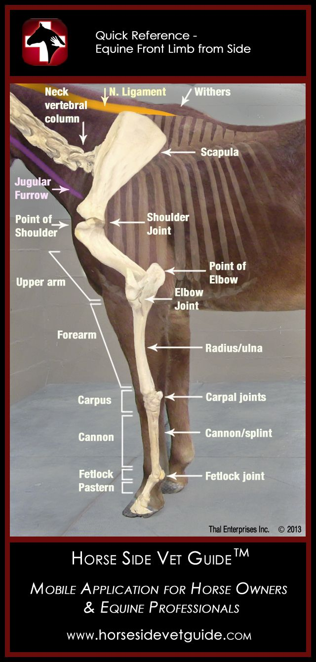 Horse Side Vet Guide - Quick Reference - Front Limb  - Mobile App NOW AVAILABLE on iTunes! http://horsesidevetguide.com/