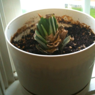 Day 7 - Leaves were turning brown, so cut off any brown parts...and it now looks like this....