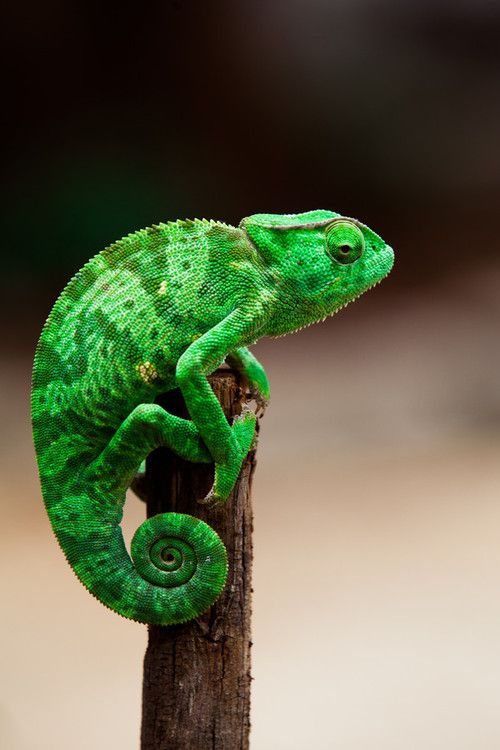 reptiles animal chameleon frog - photo #2