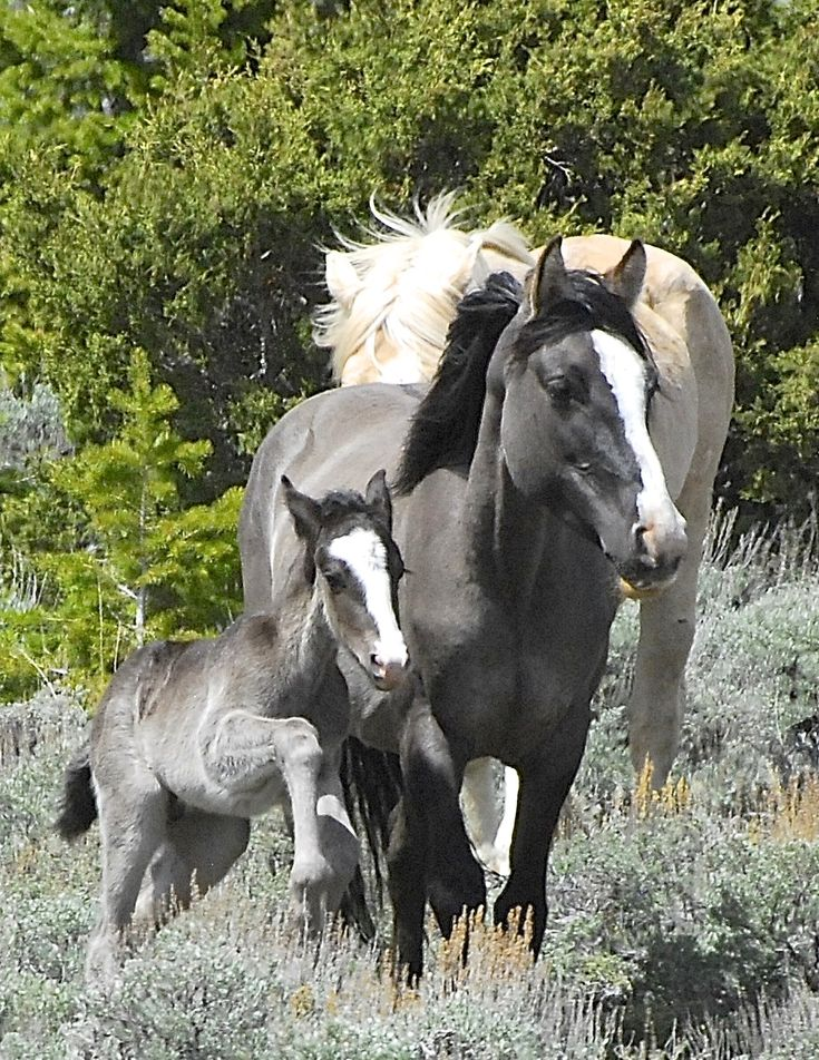 """Update on Cloud's Herd, his new son """"Ohanzee"""" and mama Feldspar. Her colt is the spitting image of her, wow!"""