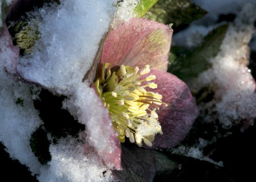 Helleborus half buried under the snow