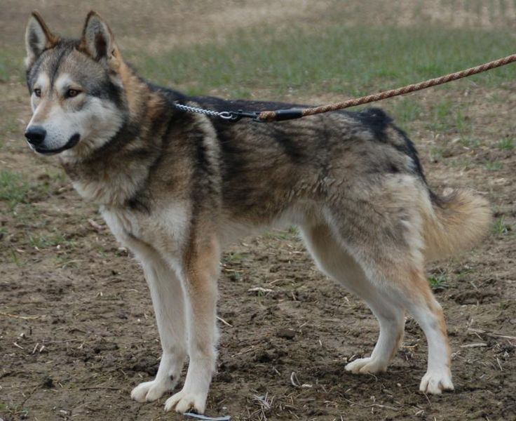 Tamaskan Dog: (Northern Inuit Dog, Utonagan, Siberian Husky, Alaskan Malamute, German Shepherd, Saarloos Wolfdog, and other arctic breeds.)