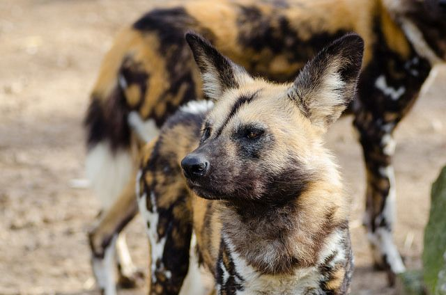 The Endangered Painted Hunting Dog