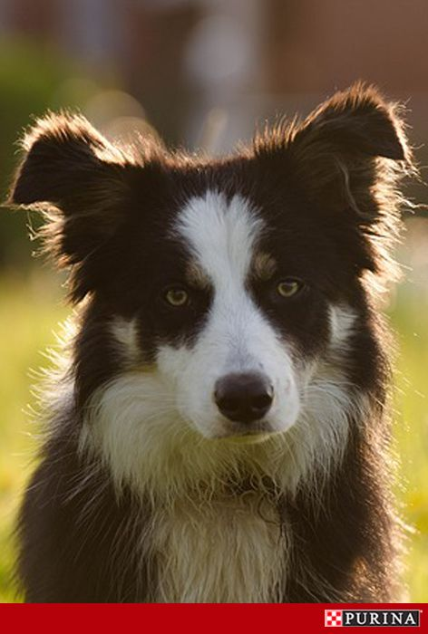 Want to adopt a trusty companion dog? Some of the most loyal dogs are also among the friendliest dog breeds. For example, Border Collies are known to be affectionate family dogs! Check out more companion dog breeds at Purina.com.