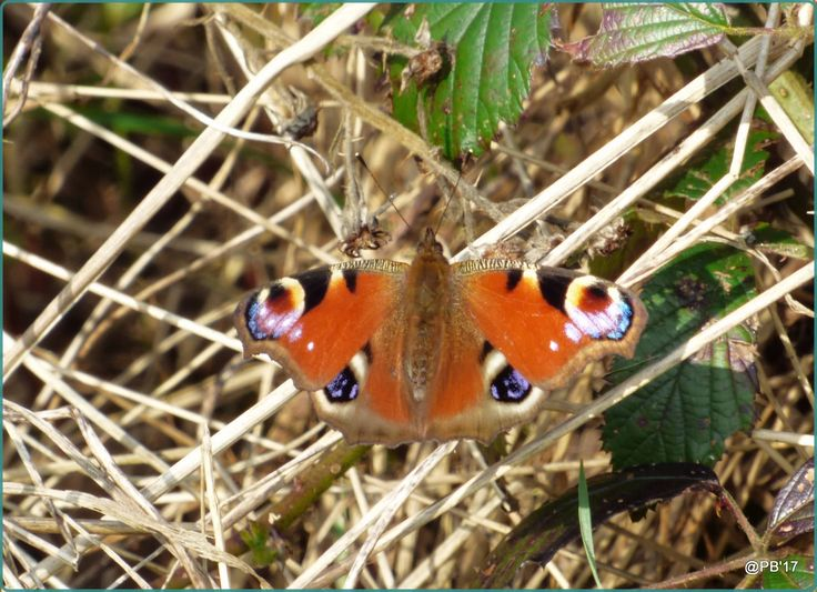 https://flic.kr/p/SX2pqS | Peacock  Aglais io | The Peacock can be found in woods, fields, meadows, pastures, parks, and gardens, and from lowlands up to 2,500 metres (8,200 ft) elevation. It is a relatively common butterfly seen in many European parks and gardens. The Peacock male exhibits territorial behaviour, in many cases territories being selected en route of the females to oviposition sites.