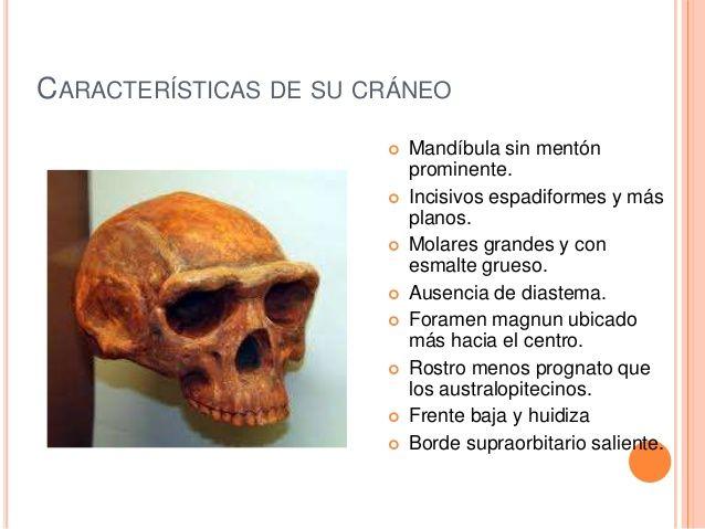 Características del cráneo del Homo habilis.