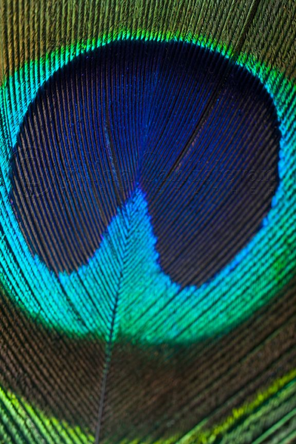 Peacock Feather Macro