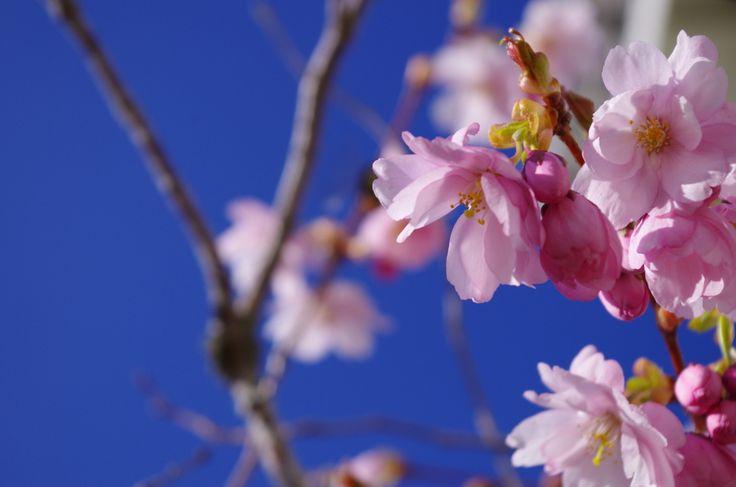 Japanese Cherry Blossom tre / Japansk körsbärsblomning