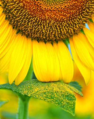 ♔ Sunflower