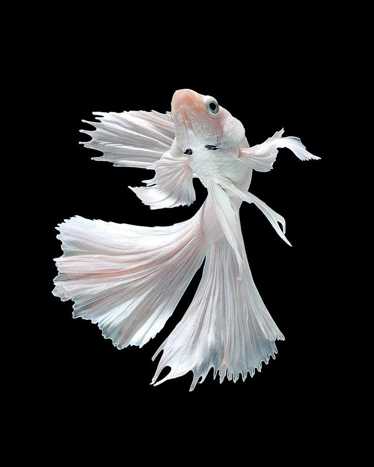 White ballet (Capture the moving moment of white siamese fighting fish isolated on black background), by Jirawat Plekhongthu