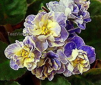 African Violet (saintpaulia) leaf TEA'S BLUEBERRY BUTTERFLY - sweet!