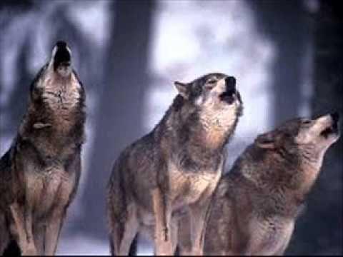 Ululato del lupo