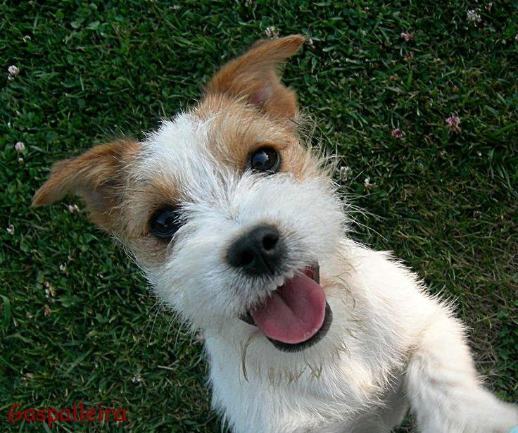 Jack Russell Terrier | cuantos propietarios de un jack russell terrier incluso aquellos que ...