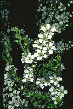 Leptospermum continentale - prickly tea tree h:2.5 w:1.5 hardy, makes an ideal specimen plant, can be used as a screening plant