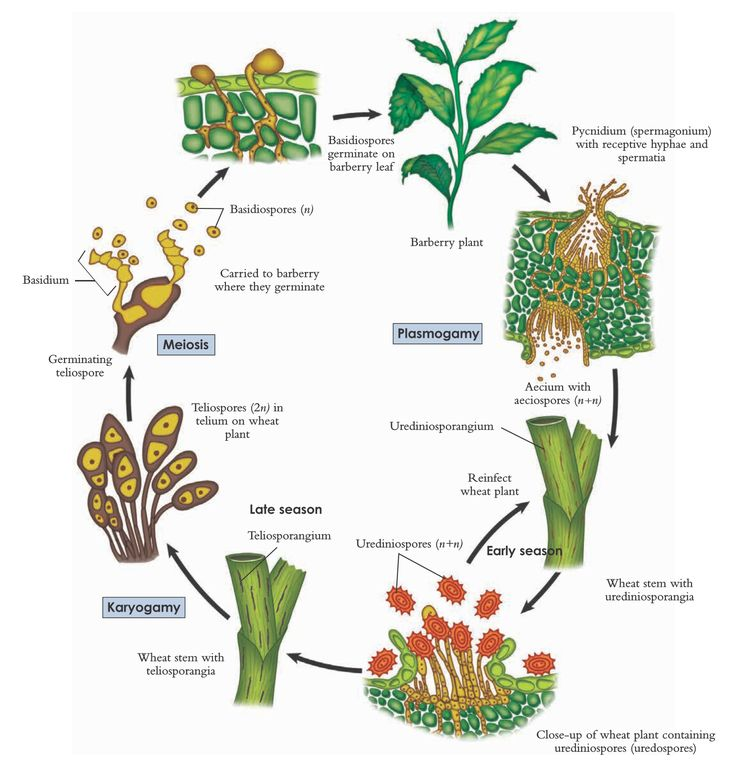 The life cycle of wheat rust, Puccinia graminis
