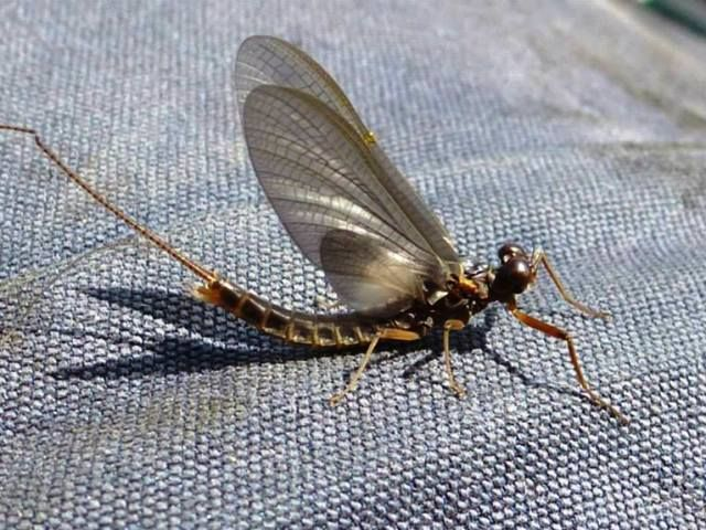 Fly Fishing Mayfly Nymph Dun & Spinner - Best Mayfly Nymph Fly Patterns, Expert Fly Fishing Techniques & Entomology information for BC's Trophy Trout Lakes!