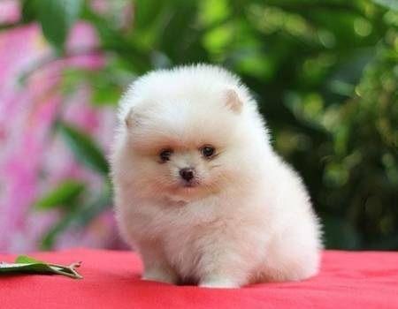 Lulu da Pomerania Mini - eu quero ❤️