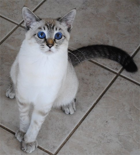 112 best images about Lynx Point Siamese on Pinterest ...