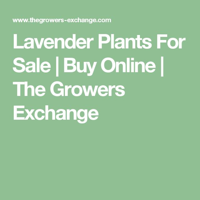 Lavender Plants For Sale | Buy Online | The Growers Exchange