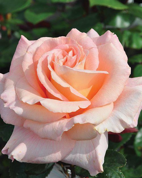 ~'King Macc'   Hybrid Tea rose