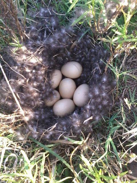 FOTOGRAFIAS TU CONFIDENTE: Huevos De Pato Silvestre