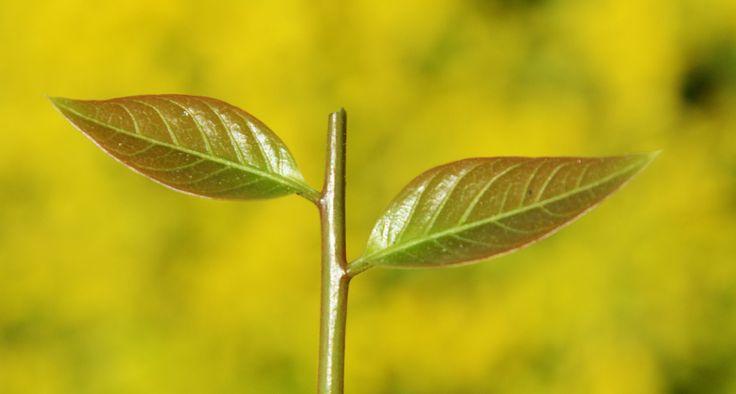leaf - null